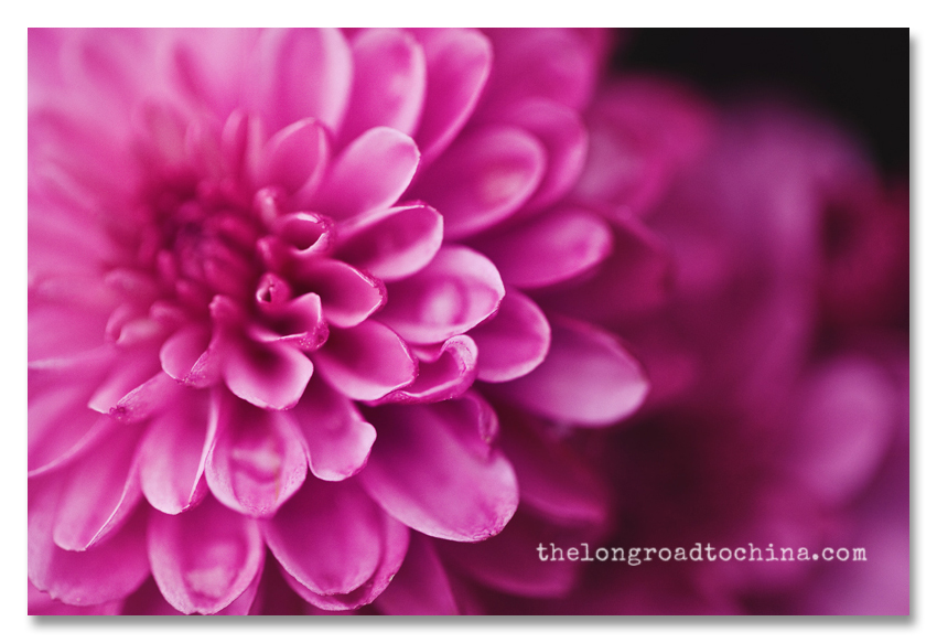 Purple Mums BLOG