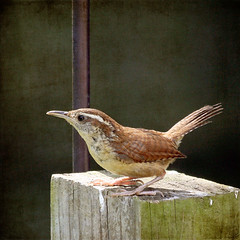 Adult Carolina Wren (Bailey Rd) Tags: magicunicornverybest magicunicornmasterpiece exoticimage