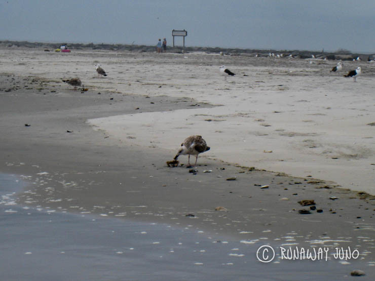 Sea gull eating clams