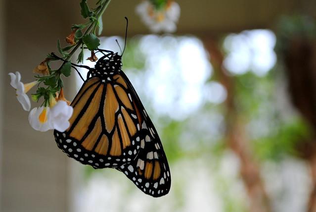 Butterfly 046