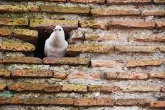 white dove into a brick wall (_Belle13_) Tags: bird wall pigeon dove bricks brickwall whitedove