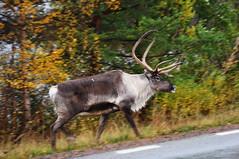 Reindeer (totheforest) Tags: autumn fall reindeer sweden ren hst norrbotten rangifertarandus nikond90 trend nikkorafsdx18105mmf3556gedvr