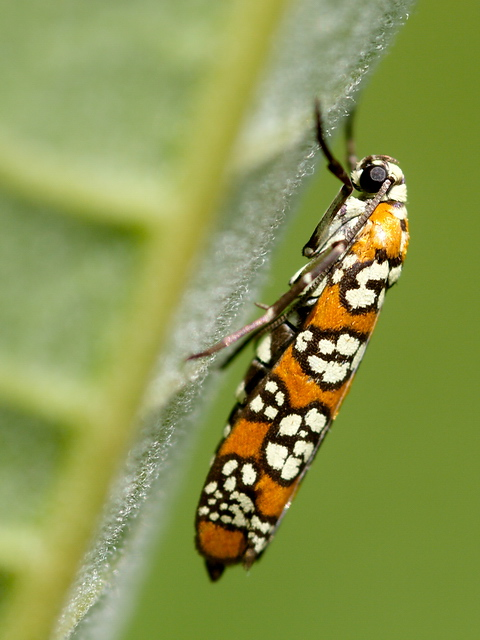 An Ailanthus Webworm Moth (Atteva punctella) on the underside of a milkweed leaf.