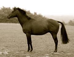 Portrait of a horse (Timoleon Vieta II) Tags: horse soldier bokeh portait monotone selftaught georgian solzhenitsyn