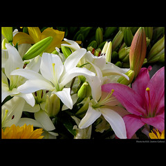 A sentimental waltz  ... (Lillies for Vicky) (juntos ( MOSTLY OFF)) Tags: birthday new friends hope chapeau happybirthday lillies brava vicky myfave oa blackrose excellence flowes musictomyeyes bellissima newseason lavieenrose thegoldengallery theperfectpicture cherryontop imagepoetry aboutyou flickrsbest anawesomeshot soe1 finestnature heartsawards flickrshearts dreamphoto overtheexcellence floralessence yrpreferredpicture artofimages saariysqualitypictures saarysqualitypictures sirhenrynco empyrianflora perceptiongroup imagesforthelittleprince 30favenature thecubeexcellencygallery weirenasflowerfaves davincimemories jotbesgroup anthologyofbeauty showthebest asbeautifulasyouwant loveforthelife mammabloomers richardgroup angelsawards 2mmroyalstation 3mroyalflowers perfectioninpictures 24realnature betterthangood1 guardiansoftime realphotoacademy speakinglove peaceawards1 sentimentalwalz artselectedbyadmnt favouritesofmyfav favetop2049 exhibitonoftalent flickrpictperfetct richardsfloranfauna adminintalk