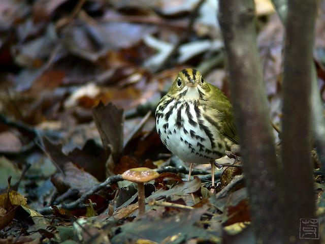 Ovenbird, Sep 2011