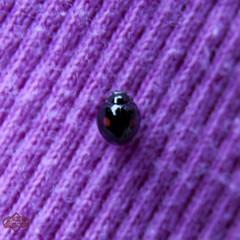 Backwards Bug (Hepcat75) Tags: canon bug insect eos rebel opposite beetle spots tiny backwards ladybird ladybug reverse dots ladybeetle polkadot xsi lovebug ladybirdbeetle coccinellidae ladyfly ladycow project365 450d godscow ladyclock