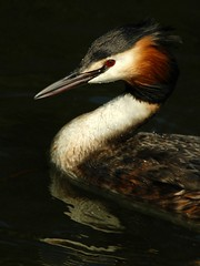 Portrait of a Grebe (blinkingidiot) Tags: nottingham nottinghamshire universityofnottingham photomix greatcrestedgrebe wow1 wow3 thegalaxy nottinghamuniversity highfieldpark bestcapturesaoi tripleniceshot nottinghamwildlife mygearandmebronze mygearandmesilver mygearandmeplatinum blinkagain flickrbronzetrophygroup musictomyeyeslevel1 flickrstruereflection1 flickrstruereflection2 flickrstruereflection3 allofnatureswildlifelevel1 allofnatureswildlifelevel2 allofnatureswildlifelevel4 highqualityanimals allofnatureswildlifelevel5 allofnatureswildlifelevel6 rememberthatmomentlevel4 flickrsfinestimages3 rememberthatmomentlevel7 rememberthatmomentlevel5