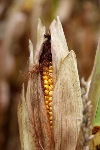 fieldcorn
