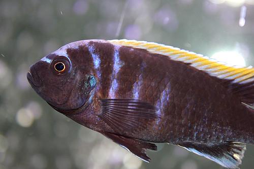 Cynotilapia aurifrons Chilumba