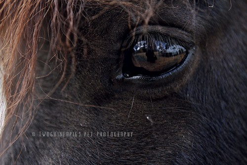The eye of a pony, William's at Lynkeys, by twoguineapigs pet photography