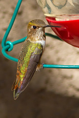 IMG_3223 Female Rufous  Hummingbird (lois manowitz) Tags: arizona birds tucson hummingbirds