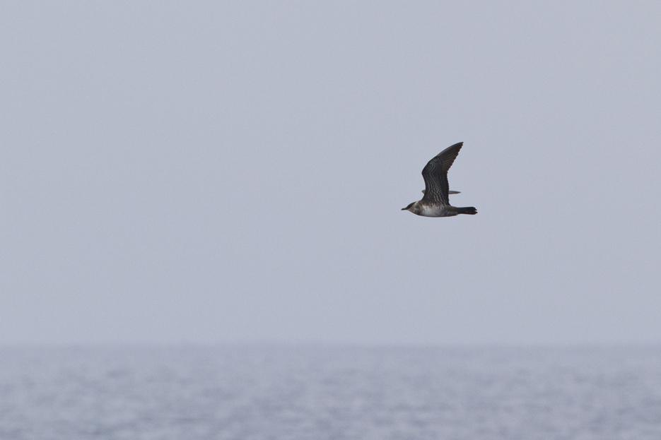 092411_bird_LongTailedJaeger01