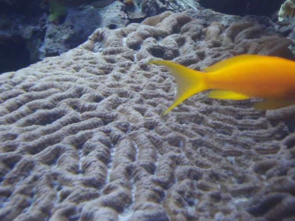peixe-laranja
