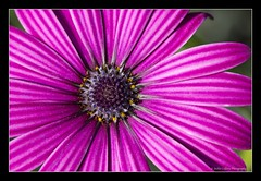 Aster. (pixiepic's) Tags: pink flower macro stripes pollen aster platinumheartaward blinkagain