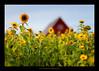 like a miniature (stella-mia) Tags: norway countryside dof bokeh 85mm sunflower 12 tournesol stange sonnenblume f12 solsikke canon5dmkii подсолнечник girasolecomune annakrømcke krømcke