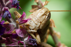 Grasshopper - IMG_9586.jpg (MP2 Photography) Tags: macro nature canon insect photo purple unitedstates insects 7d grasshopper canonef100mmf28macro 11magnification eos7d canoneos7d
