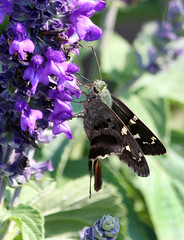 Long Tailed Skipper on Purple Salvia! (kathleenjacksonphotography) Tags: friends nature butterfly insect florida skipper longtailedskipper dogsallowed brandonfl kerbysnursery
