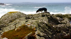 Millie (zanypurr) Tags: morning sea dog galway rock waves connemara lichen odc