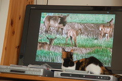 National Geographic Wild's Biggest (or perhaps smallest) Fan (david55king) Tags: television cat israel tv phoebe haifa       nationalgeographicwild  david55king