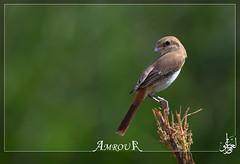 Isabelline Shrike الصرد الأحمر الذيل - أنثى (Amrou A) Tags: nikon saudi arabia riyadh 14tc nikkor300mm kharj الأحمر أنثى d7000 الذيل الصرد amroua