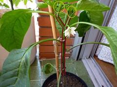 forma de la planta del pimiento