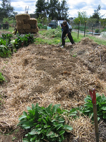 Sheep manure on potato bed