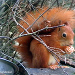 red squirre