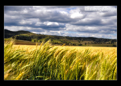Field of Gold 2 (shutter-ya-face) Tags: y wow1 wow2 wow3 fantastica excapture naturaleza bella