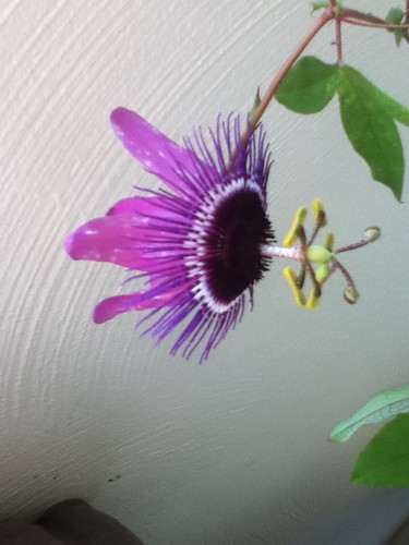 some of my passiflora - Page 2 6220927049_1c7c5fe6d7