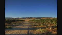 The Wine Harvest of 2011 (Floyd's Noise) Tags: rose wine harvest zinfandel grenache sangiovese sauvignonblanc semillon aglanico