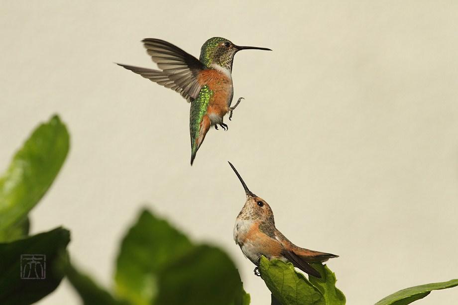 Allen's Hummingbird 101101