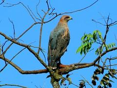 Gavio-caboclo (Savanna Hawk) (Marquinhos Aventureiro) Tags: freedomtosoarlevel1birdphotosonly