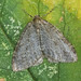1795/6/7 November Moth agg. (Epirrita sp.)