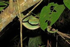 Wagleris Pit Viper (vil.sandi) Tags: snake wildlife sarawak malaysia borneo resting 7september bakonationalpark waglerspitviper venenous tropiodolaemuswagleri