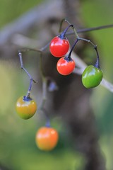 Ripening (SML Visual) Tags: autumn red orange green nature yellow fruit berries gray ripening solanumdulcamara woodynightshade