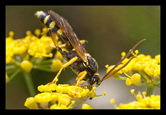 Some Kind Of Ichneumon Wasp..... (Moneycue) Tags: summer black flower netherlands yellow closeup canon bug wasp august ichneumon parasite maceo mpe65 bladwesp moneycue celestialelixir