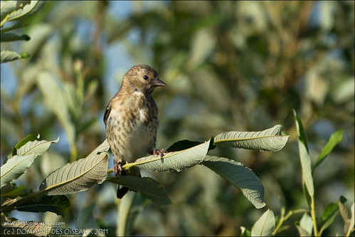 Bruant proyer - Emberiza calandra- JUV (Domaine Des Oiseaux, 09) 10-Sep-2011#01