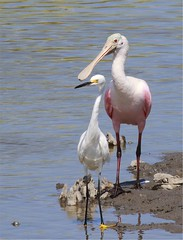 Roseate Spoonbill and Snowy Egret - Huntington Beach State Park, Murrell's Inlet, SC (nctraveler11) Tags: park beach sc state huntington inlet murrells
