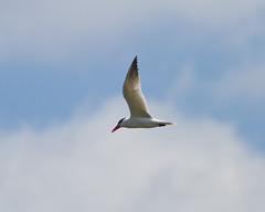Caspian Tern Photo