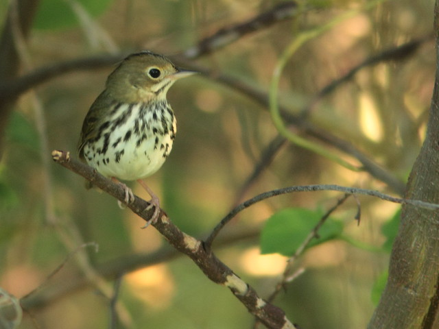 Ovenbird 20110916