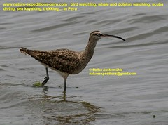 Whimbrel Birding Peru (3) (Nature Expeditions 06) Tags: trip vacation bird peru nature birds port islands marine holidays tour shorelines birding stefan coastal shore wetlands beaches trips guide guano sandpipers whimbrel expeditions numenius pucusana numeniusphaeopus phaeopus scolopacidae birdguide pantanosdevilla natureexpeditions birdinginperu austermhle birdingperu sandpipersofperu shorebirdsofperu