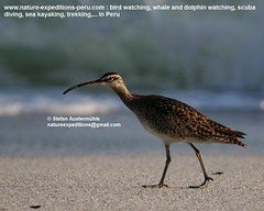 Whimbrel Birding Peru (4) (Nature Expeditions 06) Tags: trip vacation bird peru nature birds port islands marine holidays tour shorelines birding stefan coastal shore wetlands beaches trips guide guano sandpipers whimbrel expeditions numenius pucusana numeniusphaeopus phaeopus scolopacidae birdguide pantanosdevilla natureexpeditions birdinginperu austermhle birdingperu sandpipersofperu shorebirdsofperu