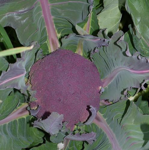Violet Sicilian Cauliflower
