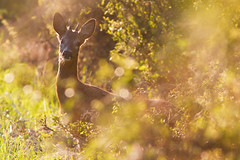 Roe Deer (Norbert Krlik) Tags: wildlife deer roe canonef300mmf4lisusm canonefextender14xii canoneos40d