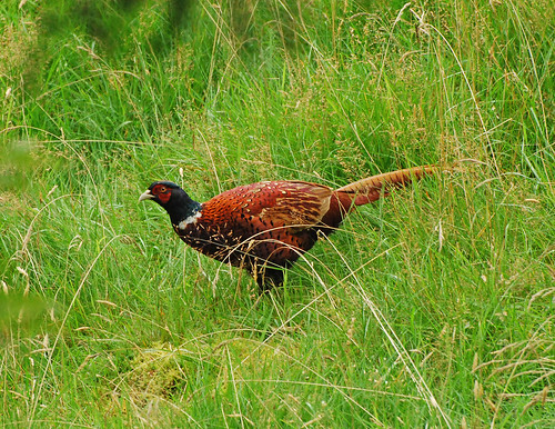 And as we were chasing toads a handsome cock pheasant appeared in the