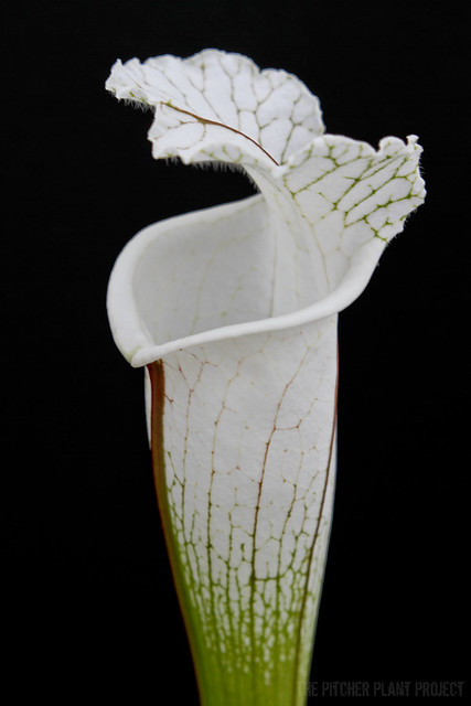 Sarracenia leucophylla 'Hurricane Creek White' - clone F