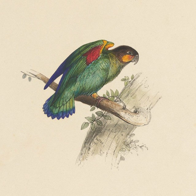 End 6. Small parrot --  hand-coloured lithograph. drawing (85)