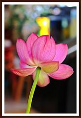 The Spirit Within (jamest55t) Tags: ca flowers summer leaves canon leaf backyard lotus blossom lotusflower lotusseed watrerpond