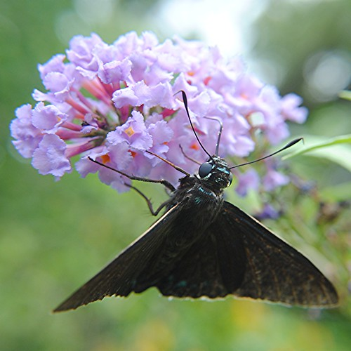 Mangrove Skipper is sipping nectar from a sunny lavender Buddleja by jungle mama